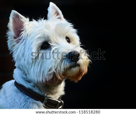 A Beautiful White West Highland Terrier Isolated on Black Background