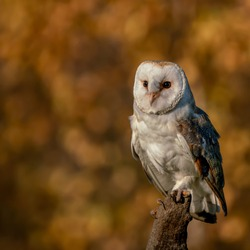 A beautiful wild barn owl (Tyto alba) perched on a tree stump. Bokeh autumn background, yellow and brown colors. Noord Brabant in the Netherlands.
