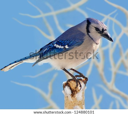 A beautiful winter Bluejay (Cyanocitta cristata) on a snowy birch stump with snow- covered branches and blue sky in the background.