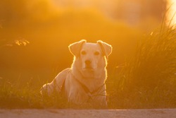 A beautiful yellow dog pet lies contentedly on a yellow-green meadow and waits