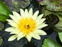 A beautiful yellow lotus flower with green leaves in the pool