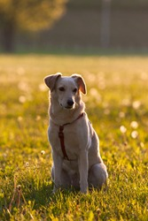 A beautiful yellow pet dog sits contentedly on a yellow-green meadow and waits