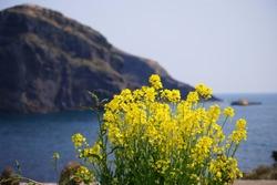 A beautiful yellow rape flower that represents Jeju Island in Korea.