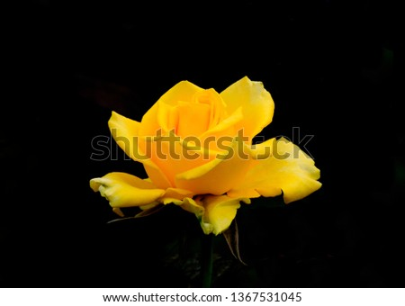 A beautiful yellow rose with black background,,,,This pictures taken in India kolkata