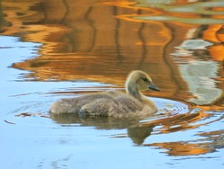 A beautiful young Canada Goose Gosling swims along in a canal on a warm spring day.