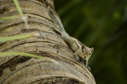 A beautiful young indian palm squirrel standing upside down on the surface of the coconut tree looks at me.