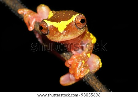 A beautifully vibrant pink and yellow Sarayacu Treefrog (Dendropsophus sarayacuensis) in the Peruvian Amazon Isolated on black with plenty of space for text