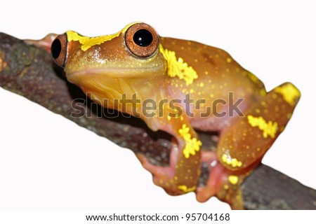 A beautifully vibrant pink and yellow Sarayacu Treefrog (Dendropsophus sarayacuensis) in the Peruvian Amazon Isolated on white with plenty of space for text