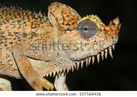 A beautifully vibrant WILD Von Hohnel's or Helmeted or High-casqued Chameleon (Trioceros hoehnelii) in Kenya, Africa. Isolated on black with plenty of space for text.