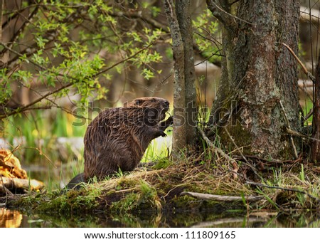 A beaver in the forest eating, closeup