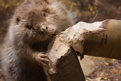 a beaver is cutting a tree to build a dam
