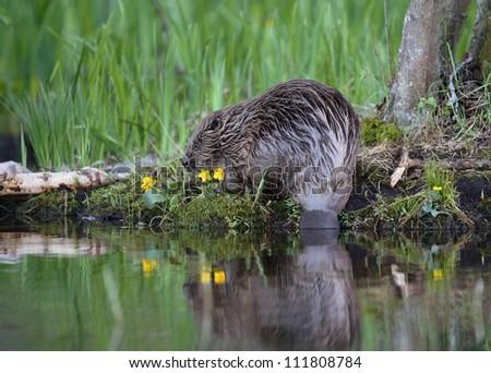 A beaver near water, closeup