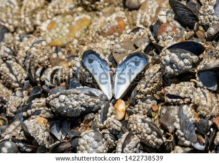 A bed of blue mussels (Mytilus edulis) covered in barnacles in an intertidal zone. A single shell stands open and attached to the rocks creating a pearlescent heart or butterfly shaped pattern. #1422738539