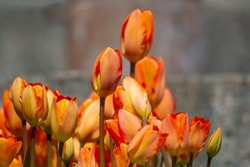 A bed of bright and colorful orange tulips just as they start to bloom. There's a couple of flowers taller than the others in the cluster. The background is out of focus with colors of grey and tans.