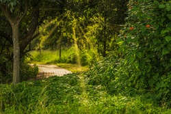 A bed of lush green leaves foliage maxican sunflowers and a pathway with sunrays shining through