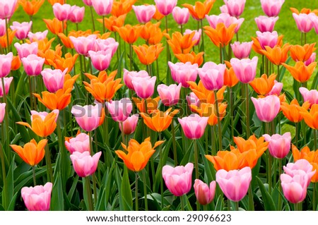 A bed of mixed colors of tulips
