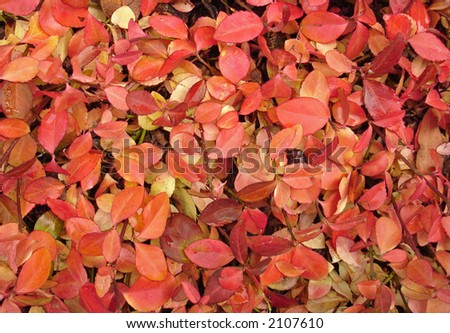 A bed of red leaves