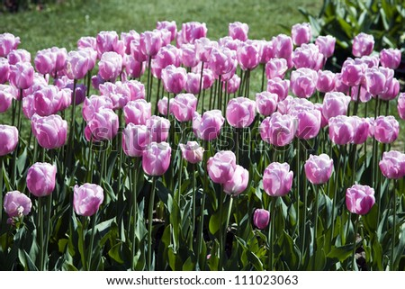 A bed of tulips of the Single Late Tulip 'Esther' genus in a park.