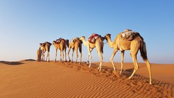 a bedouin guides his camels over the dunes of wahiba sands in the morning