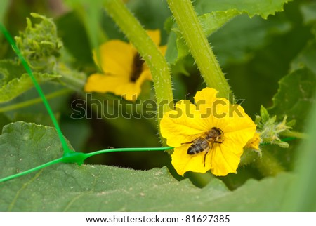 a bee and flower of cucumber