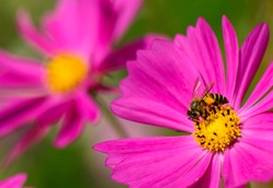 A bee collecting nectar from purple cosmos flower, macro.