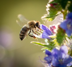 A bee collects honey on blue flowers on nature.