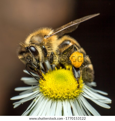 Photo of  a bee collects nectar from a chamomile flower, closeup of a bee in the process of collecting nectar