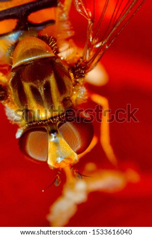 A bee collects nectar from a red flower. Super macro photo. Summer love insects feed on nectar. pictures all the fine details of the insect. flying creatures