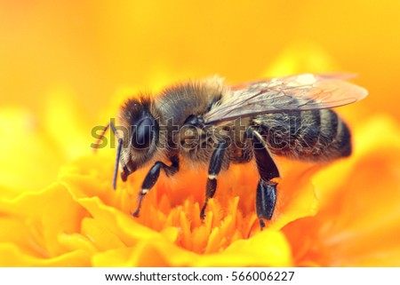 A bee collects nectar from a yellow flower. Super macro photo. Summer love insects feed on nectar. pictures all the fine details of the insect. flying creatures #566006227