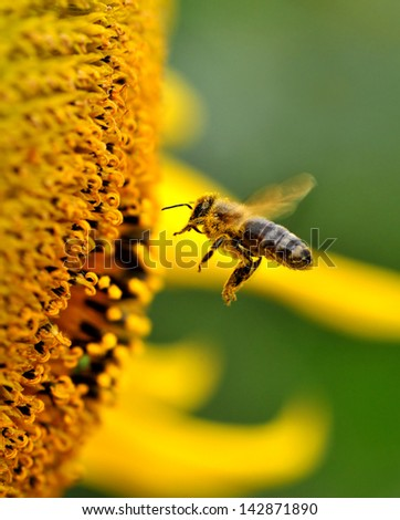 A bee collects nectar from flowers.