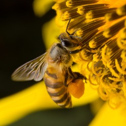 A bee collects nectar from flowers, Close Up Macro
