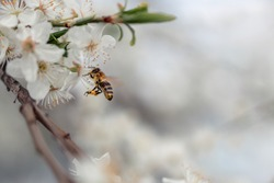 A bee collects pollen from a cherry tree. Close-up