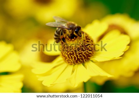 A bee drinking nectar on the yellow flower.