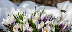 A bee flies up to the primroses blooming in the snow. Snowdrop flowers blooming among the melting snow in spring with a flying bee.