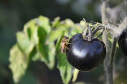 A bee fly sits on a black tomato. Insect and plant in macro photography.