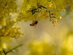 A bee gathering pollen from a wattle bush.