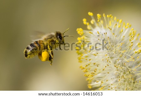 A Bee hovering while collecting pollen from Pussy Willow blossom. Hairs on Bee are covered in yellow pollen as are it's legs.