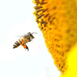 A Bee hovering while collecting pollen from sunflower blossom. Hairs on Bee are covered in yellow pollen as are it's legs.