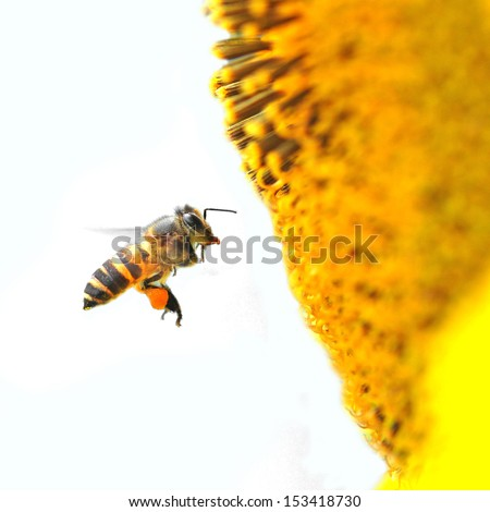 A Bee Hovering While Collecting Pollen From Sunflower Blossom. Hairs On Bee Are Covered In Yellow Pollen As Are It\'S Legs.