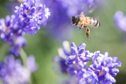 A bee in mid flight enjoying the lavender flowers in the meadow