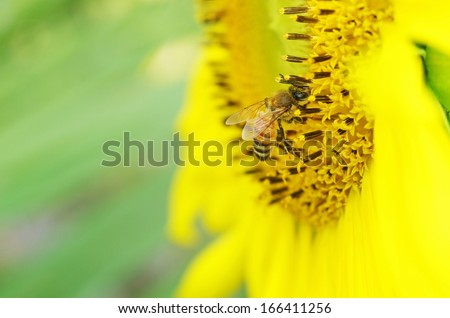 a bee is collecting nectar from the sunflower