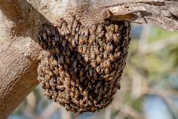 A bee nest hanging on the tree in its natural habitat, Wild bee living out naturally.