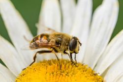 A bee on a camomile flower. Macro photo. White petals and yellow stamens of a camomile. Yellow pollen of a flower on the body of a bee.A bee pollinates a flower. Bee wings, paws, head and body texture