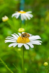 A bee on a chamomile flower. Close-up. A bee pollinates a flower. White petals and yellow stamens of daisies. Yellow pollen of a flower on the body of a bee. Bee wings, legs, head and body texture