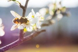 A bee on a cherry blossom branch collects nectar. Sunny spring day. Pollination of flowers in the garden. Honey bee close-up. Soft blurry background, selective focus. Blooming spring garden.