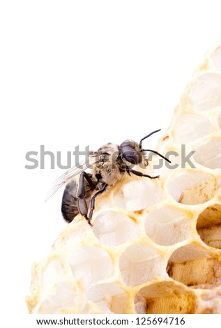 a bee on a honeycell, isolated on white