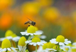 A bee on chamomile flower, colorful background.