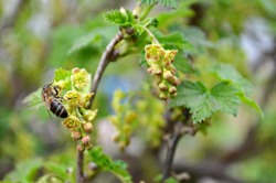 A bee on currant flowers on a branch of a bush in spring, green currant leaves are blooming, close-up, macro.