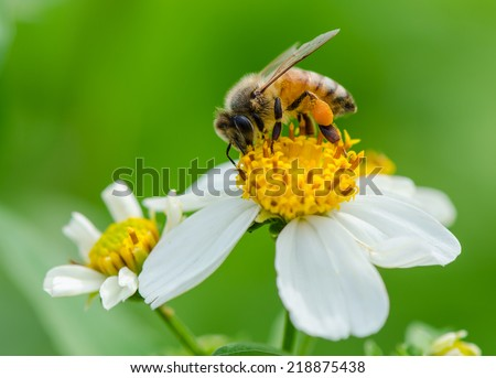 A bee on wild flower pollens with green background.