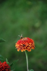 A bee or a bumblebee on a field flower. Insects are important for the survival of our world. Pollination of plants in nature. Bees collect pollen from flower stalks and make honey. My garden.